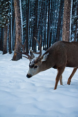 (hatman003) Tags: winter snow canada deer antlers alberta banff banffnationalpark hiddenridge