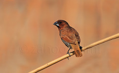 spoted munia (zahoor-salmi) Tags: camera pakistan macro nature beauty birds animals canon lens photo tv google flickr natural action wildlife watch bbc wallpapers punjab wwf discoverychannel salmi spottedmunia walpapers chanals discovry beutty bhalwal zahoorsalmi blinkagain