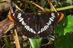 Lorquin's Admiral (ajblake05) Tags: canada britishcolumbia butterflies insects lepidoptera burnaby northamerica lowermainland greatervancouver nymphalidae lorquinsadmiral hexapoda papilionoidea limenitislorquini limenitidinae burnabylakepark ilgae gallery130703