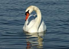 White Rock Lake Swan (Shutter_Hand) Tags: usa bird dallas swan texas sony pssaro ave pajaro alpha aus oiseau cisne vogel pjaro muteswan a77 uccello  whiterocklake    lenscraft slta77v sonyalphaa77 miguelmendozamuoz sigma150500mmf563dgoshsmapolens