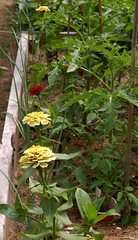 """Onions and Zinnias • <a style=""""font-size:0.8em;"""" href=""""http://www.flickr.com/photos/54958436@N05/9291219781/"""" target=""""_blank"""">View on Flickr</a>"""