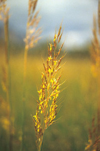 Photo - Yellow Indian Grass