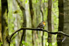 Roodborstje (Panthera-be) Tags: robin erithacusrubecula vogels belgi natuur dieren roodborst vlaamsbrabant zangvogels watermaalbosvoorde tapuitenenlijsters