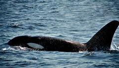 Killer whale surfacing (Soma Chakrabarty) Tags: cruise summer mountain snow green alaska landscape glacier killer whales