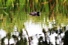Coot. reflections (John Andersen (JPAndersen images)) Tags: reflections waterbird cattails coot