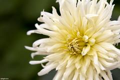 Irradiando belleza (ngel mateo) Tags: white blur flower blanco beauty yellow petals focus pretty flor desenfoque bonita belleza ptalos enfoque amarilo ngelmartnmateo ngelmateo irradiarbelleza radiatebeauty