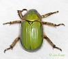 BG2013_226 Chrysina lecontei (edit) (MO FunGuy) Tags: arizona beetles maderacanyon shiningleafchafer santaritamountains pimacounty chrysina bugswarm2013