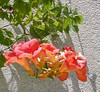 "Trumpet Vine • <a style=""font-size:0.8em;"" href=""http://www.flickr.com/photos/101656099@N05/9733559755/"" target=""_blank"">View on Flickr</a>"