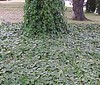 """English Ivy • <a style=""""font-size:0.8em;"""" href=""""http://www.flickr.com/photos/101656099@N05/9733564953/"""" target=""""_blank"""">View on Flickr</a>"""