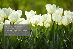 White tulips (creativemarket.photo) Tags: summer sunlight white flower color macro green love floral beautiful beauty outdoors design spring tulips background meadow tulip tenderness sunnyday