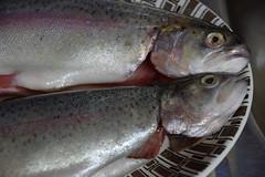 DSC_6374 Rainbow Trout Fish (photographer695) Tags: fish rainbow trout