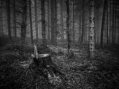 Taken (Damian_Ward) Tags: wood trees blackandwhite bw monochrome forest lumix mono chilterns buckinghamshire panasonic stump bucks dmc wendover astonhill m43 thechilterns chilternhills mft wendoverwoods 20mmlens gh3 damianward micro43 microfourthirds hh020 ©damianward
