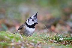Crestie (cjdolfin) Tags: wood winter wild bird nature forest scotland wildlife scottish ground crest highland perch lichen avian crestedtit birdonastick invernessshire passerine lophophanescristatus cjdolfin