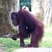 "Orangutan • <a style=""font-size:0.8em;"" href=""http://www.flickr.com/photos/128593753@N06/16357759767/"" target=""_blank"">View on Flickr</a>"