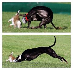 Hare coursing cruelty - Clonmel 2015