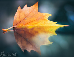 Reflecting upon the weather (susivinh) Tags: autumn reflection hoja leaf reflected fallen reflejo otoo fal cada caer