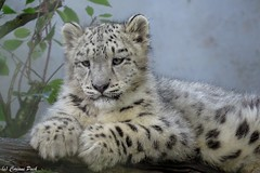 Bb panthre des neiges (Passion Animaux & Photos) Tags: snow zoo cub leopard bebe mulhouse neiges panthere