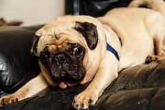 Mrbig24Feb15-3.jpg (fredstrobel) Tags: atlanta usa pets dogs animal animals ga georgia townhouse united pug places states pugs mrbig my mytownhouse pawsdogs