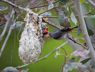 Mistletoebird feeding chicks