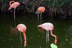 Flamingos (Ron Odenthal) Tags: mexico quintanaroo excaret ronodenthal