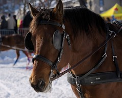 Derby St-Hubert 2015 : Carnaval Qubec 2015 : Comptition d'attelages (eburriel) Tags: street winter horse snow cold caballo cheval town quebec hiver picture competition carnaval neige georges derby qc ville sthubert haken 2015  enganche