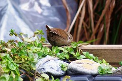 Another one for the raised pond (Debz_14, frozen shoulder keeping me from camera an) Tags: wren