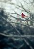 Cardinal Bird (Cyrielle Beaubois) Tags: morning winter red canada male bird birds rouge cardinal hiver québec oiseau victoriaville 2015 canonef70200mmf40lusm canoneos5dmarkii cyriellebeaubois saintchristophedarthabaska