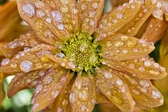 Fleur gele (dazane1 (de retour)) Tags: cold flower ice fleur froid glace