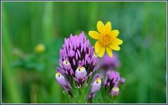 Dew Covered Clover (tdlucas5000) Tags: california flowers macro purple bokeh canyon malibu wildflowers clover yell owls goldfields