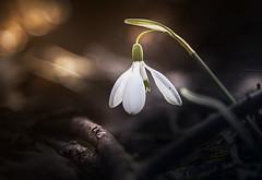 Sweet awakening (Soloross) Tags: park sun flower macro primavera nature colors canon spring day bokeh natura piemonte sole sweetness fiore colori piedmont dolcezza giorno