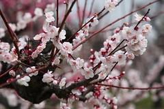 豊後梅 bungo-bai (eyawlk60) Tags: japan spring 日本 earlyspring 梅 春 japaneseapricot 早春 prunusmume 豊後梅 大阪城梅林  ume