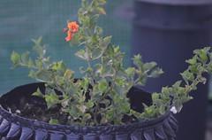 Oxylobium alpestre (maurits de vries) Tags: plant australian australia shrub australasia exoticplants tropicalplants australianplants wwwtropischetuinnl