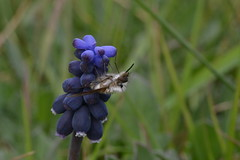 Agarrado al Muscari neglectum (esta_ahi) Tags: barcelona blue españa flores insectos fauna spain flora flor muscari diptera penedès nazarenos liliaceae silvestres muscarineglectum neglectum испания lescabanyes