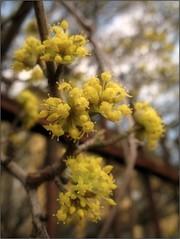 (Tlgyesi Kata) Tags: garden spring blossom yellowflower dogwood corneliancherry cornusmas kornelkirsche europeancornel budaiarbortum hsossom felskert