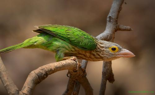นกโพระดกธรรมดา / Lineated Barbet / Megalaima lineata