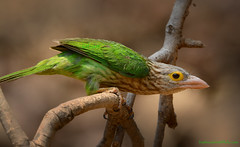 / Lineated Barbet / Megalaima lineata (bambusabird) Tags: birds animals forest thailand nikon rainforest wildlife tropical chiangmai oriental barbet maehia bambusabird