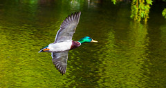 Flying solo (Steve-h) Tags: camera trees ireland dublin orange naturaleza sun sunlight white lake black green bird nature water sunshine weather birds yellow bronze digital canon reflections lens outdoors island grey flying spring movement pond exposure flickr day breast bright action air natur flight may sunny natura belly mallard iridescent ripples drake flicker wildfowl bushypark 2016 hff aquaticbird steveh happyfeatheryfriday ef100400mm digitsl