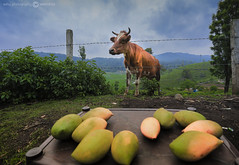 COW (beyondframesbyeshu) Tags: cow natgeo mango hungry throwns india lonelyplanet lonelyplanetindia green landscape rain fruits travel travelphotography traveller