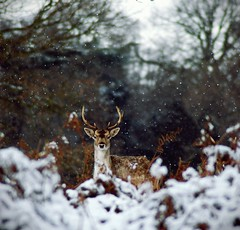 2010-01-06dx2 Wary doe ([Ananabanana]) Tags: park nottingham winter snow plant macro tree animal frozen nikon stag outdoor snowy gimp doe deer freeze di serene fallowdeer af 70300mm tamron fallow wollatonpark nottinghamshire ld dama wollaton deerpark 70300 notts tamron70300mm d40 f456 f4556 70300mmtamron tamronaf70300mm tamron70300mmf456dildmacro photoscape macrotamron 70300tamron tamronaf70300mmf4556dildmacro tamron70300mmaff4556dildmacro