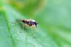 Platypalpus sp. (Mariie76) Tags: macro nature animaux bizarre insecte verdure feuille trompe prdateur macrophotographie diptre platypalpus hybotide tachypzide