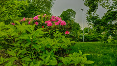 26.5.2016 Torstaiaamu Thursdaymorning Turku bo Finland (rkp11) Tags: morning primavera clouds suomi finland dawn spring turku cloudy may mai aurora greenery mayo mei thursday printemps hdr maggio springtime frhling maj pohjola partlycloudy pilvet rhododendrons wiosna   bo 2016 molla 5   kevt lumia aamu  toukokuu mays  torstai vehreys    aninkaistenkatu  southwestfinland alppiruusut aamunkajo aamunkoi lumia1020 puolipilvist 2652016 virusmenramppi