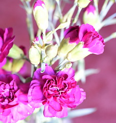 DSC_1127 Carnations (PeaTJay) Tags: flowers plants macro nature gardens fauna reading flora sigma indoors micro carnation closeups berkshire carnations lowerearley nikond750