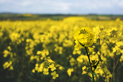 """They call him """"Mellow Yellow"""" (Michelle Tuttle) Tags: wild green nature field yellow landscape spring farm mellowyellow crop oil rapeseed"""