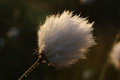 Soft light, soft drops (Steenjep) Tags: morning flower macro closeup dof herning drop dew dug moor blomst lightshadow morgen mose dråbe eriophorum kæruld knudmosen