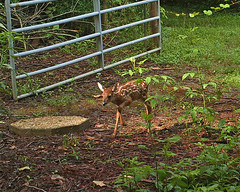 fawn - one of set of twins (Vicki's Nature) Tags: baby brown yard fence georgia small twin deer spots fawn bushnell trailcam vickisnature