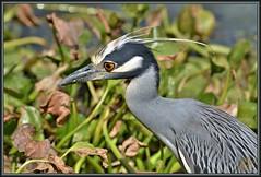 Silver Streak (WanaM3) Tags: city heron nature nikon texas wildlife bayou pasadena canoeing paddling yellowcrownednightheron clearlakecity d7100 ycnh horsepenbayou wanam3 nikond7100