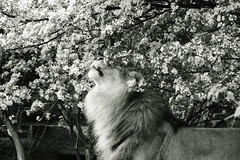 (Light Echoes) Tags: philadelphia zoo spring feline sony lion may bigcat carnivore philadelphiazoo africanlion mammel 2016 makini a6000