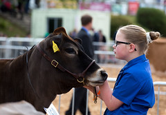 Cattle (Friday) - Devon County Show 2016 (dorsetbays) Tags: show county cow cattle farm farming bull devon exeter judge farmer judging agriculture calf westpoint agricultural 2016 devoncountyshow devonshow agriculuturalshow devonshow2016 devoncountyshow2016