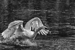Bird fight (Chenxi Ni) Tags: swan aylesbury watermead