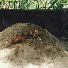 street-dogs-enjoying-summer-udaipur (uttam bhaskar) Tags: udaipur iphonephoto iphonepic iphone6 iphoneonly seoudaipur
